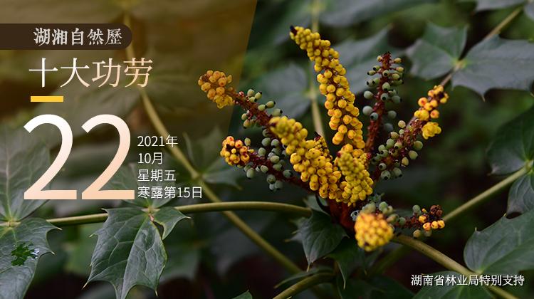 """湖湘自然历丨""""十大功劳""""都有啥功劳?"""